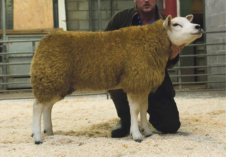 Well supported Chelford Texel sale sees 2,250gns top