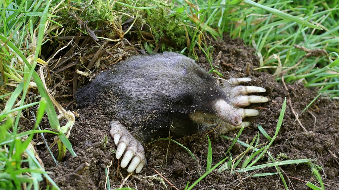 Marshmallows, radios, and other ways to eradicate moles