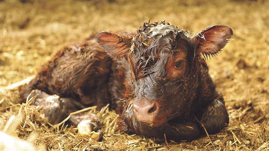 Many calving difficulties and health problems can be avoided through correct mineral supplementation