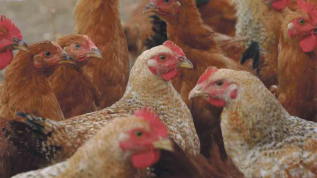 Unions slam claims poultry farms are ruining the environment
