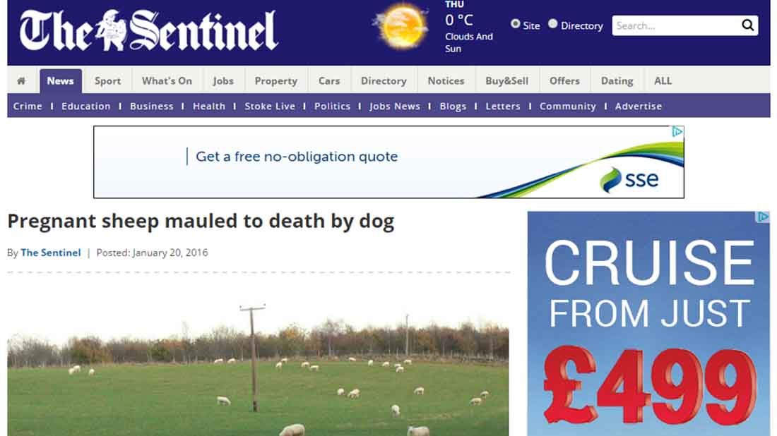 Pregnant sheep mauled to death by dog