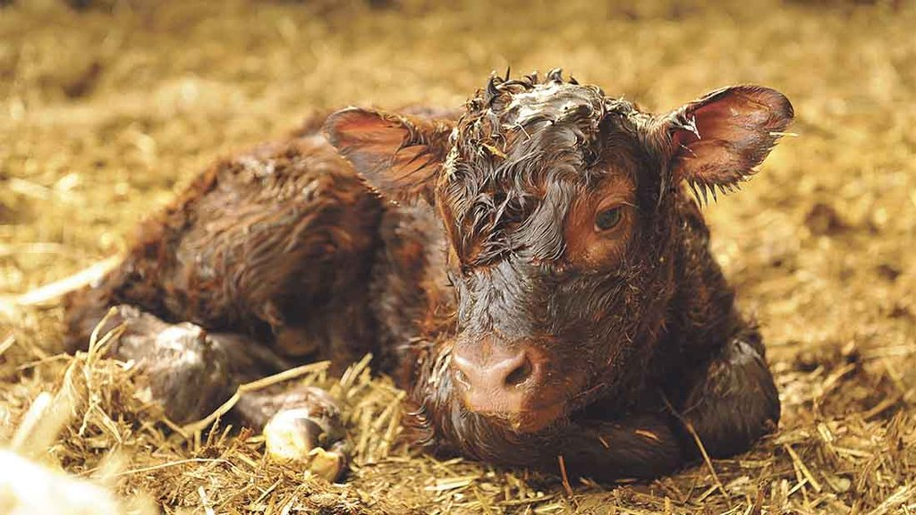 Is all-year round calving really the best option?