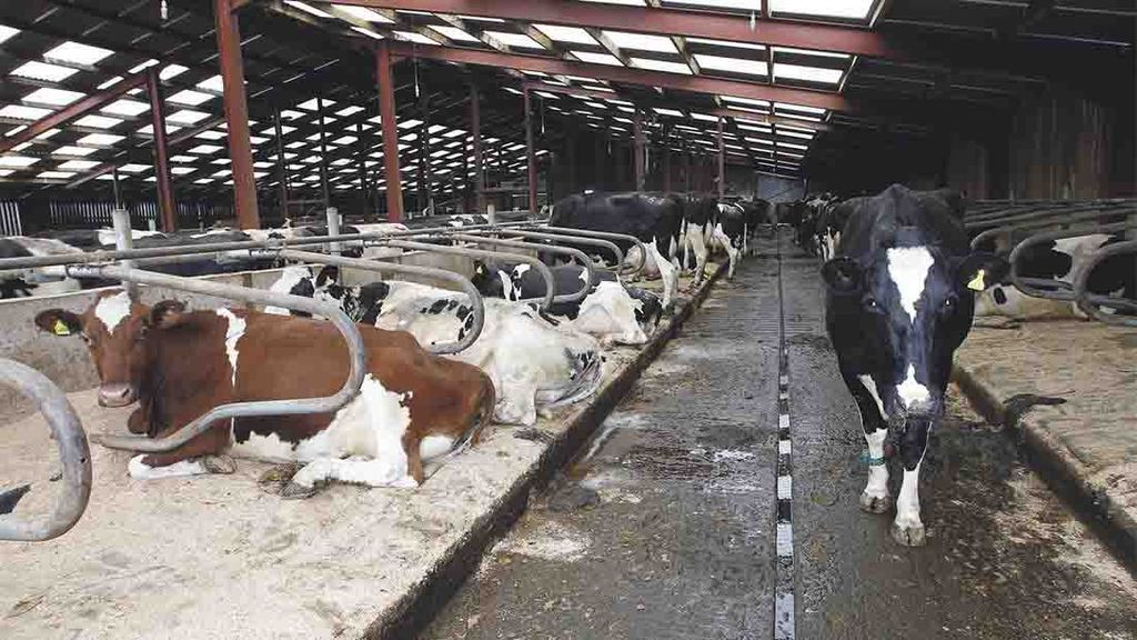 The new dairy complex features 230 cubicles with cow mats and sawdust bedding for comfort