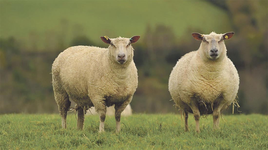 Research project looks at mastitis cases in ewes