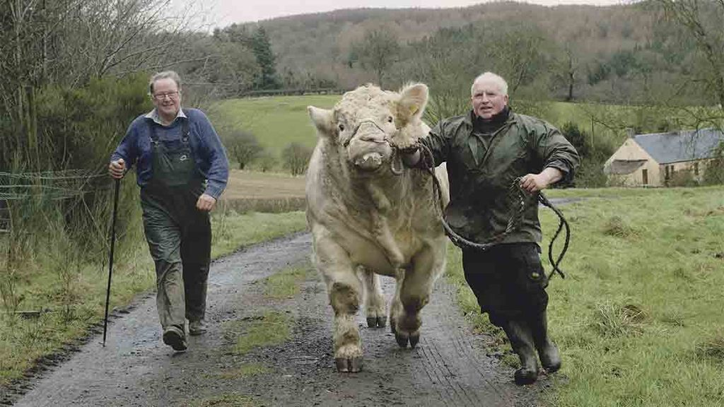 Balthayock Charolais herd all set for Stirling