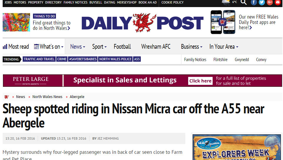Sheep spotted riding in Nissan Micra car off the A55 near Abergele