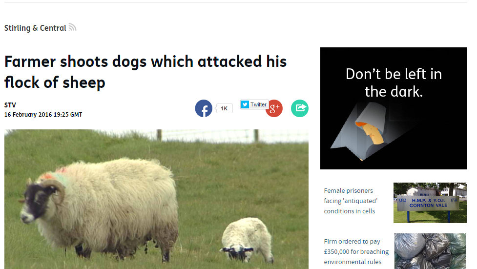 Farmer shoots dogs which attacked his flock of sheep