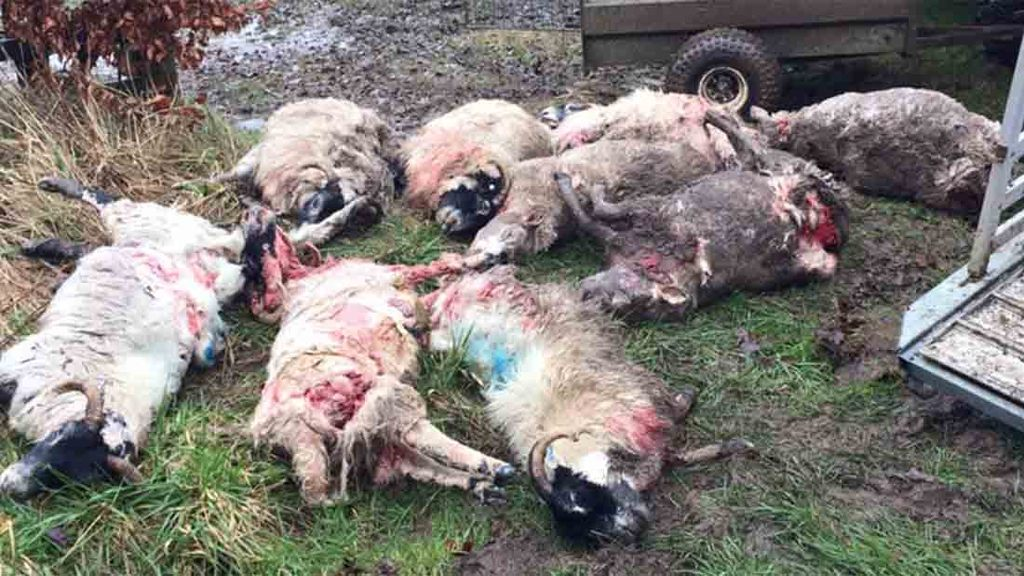 Farmer describes dog attack horror which left nine sheep dead