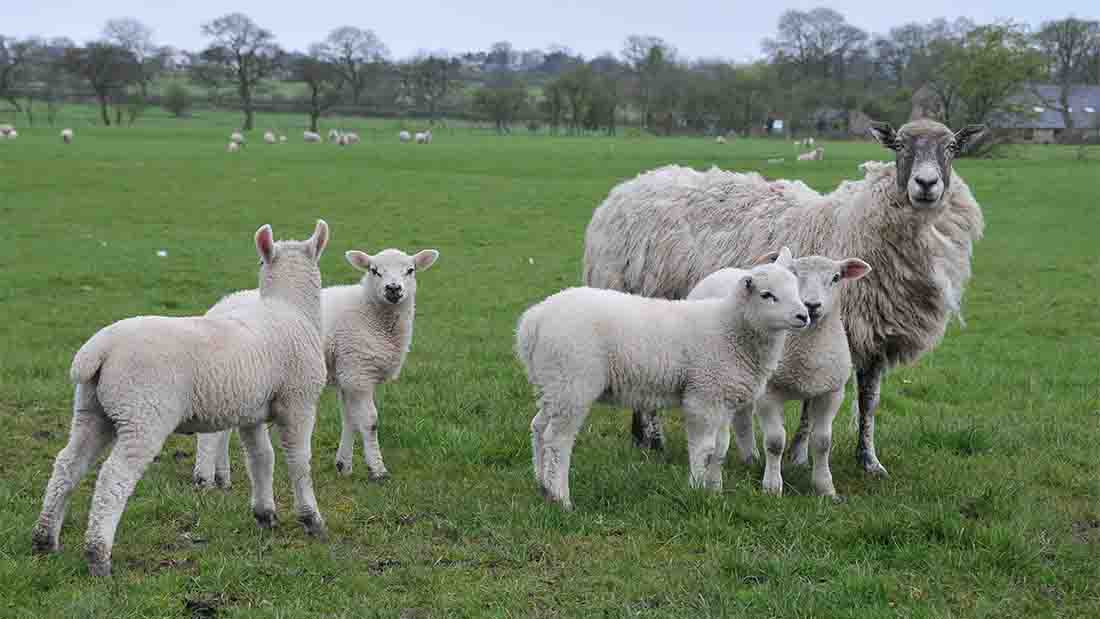 Lamb chiefs confident of Easter price boost