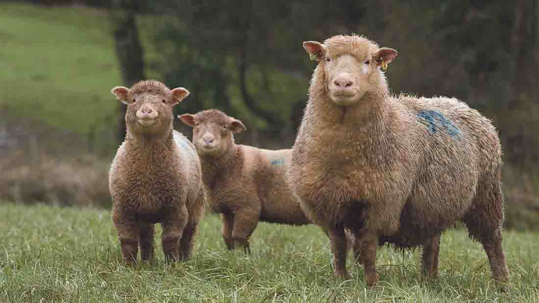 Meeting the early lambing challenge for the Easter market premium