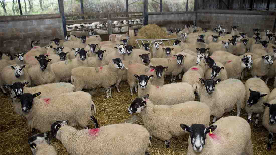 Creep-feeding vital to profitable lamb production