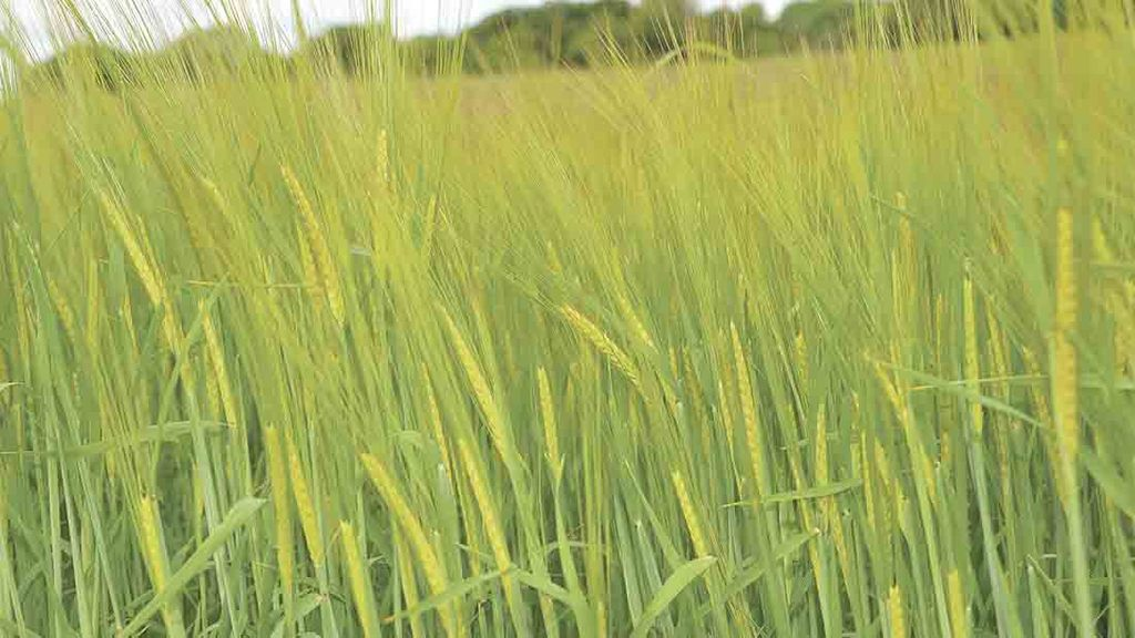 Buy-back contracts recommended as spring barley area set to rise
