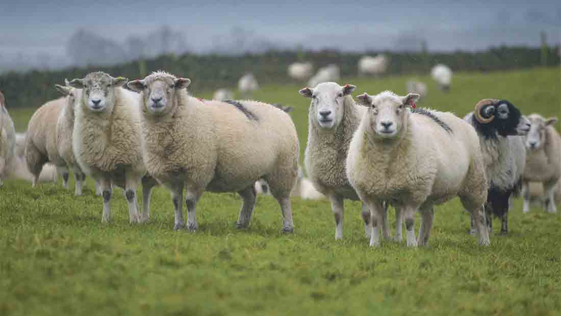 Cumbrian sheep farmers working hard to produce more from less