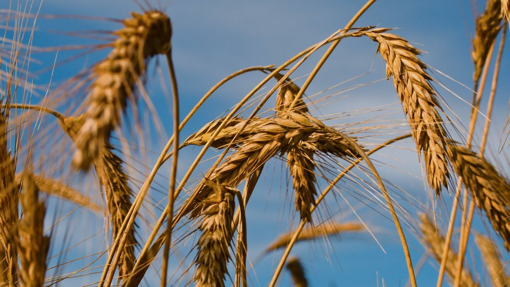 RL results reveal 0.5t/ha drop in barley yields