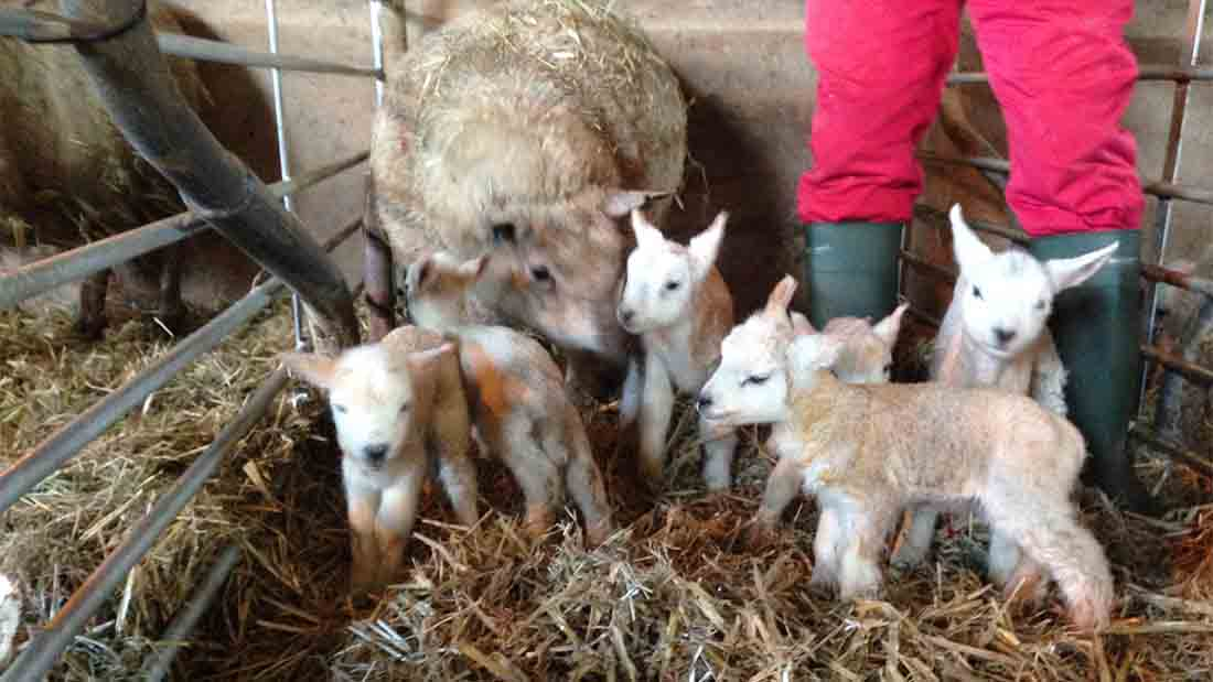 Un-baa-lievable! Welsh ewe delivers six lambs at once