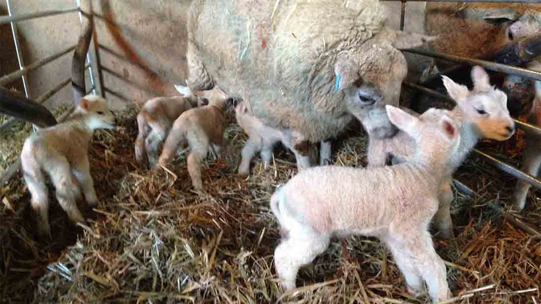 The happy, lively, sextuplet lambs