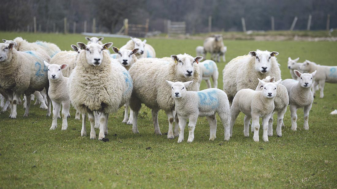 Vet's View: How to protect growing lambs