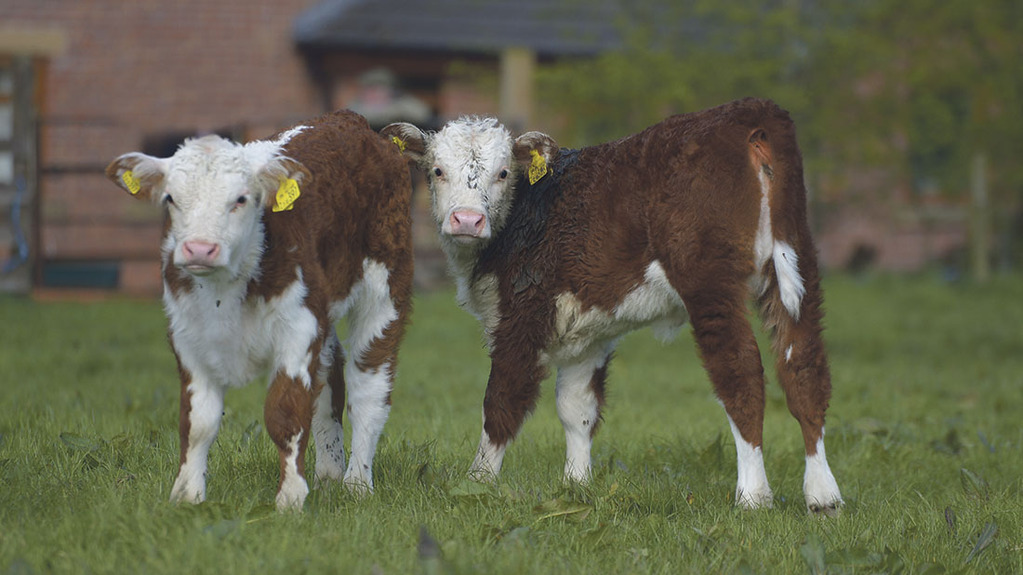 Farm tips: Maximising the survival rate of new born calves