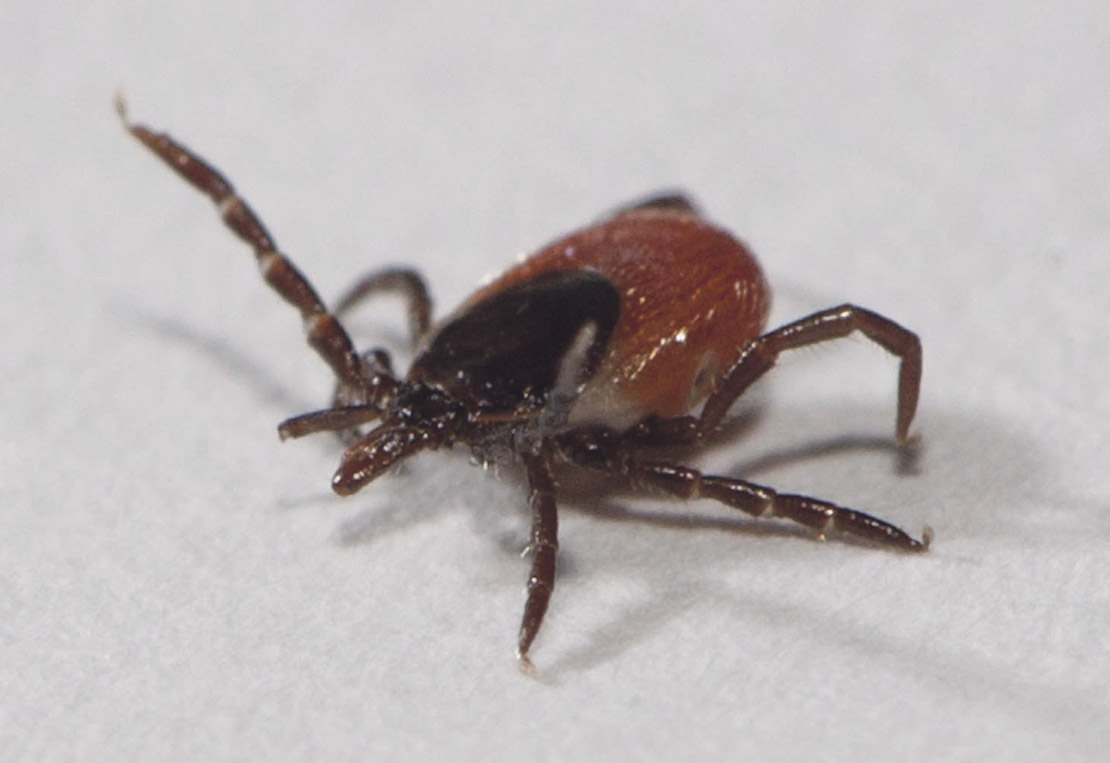 Rise in tick populations poses threat