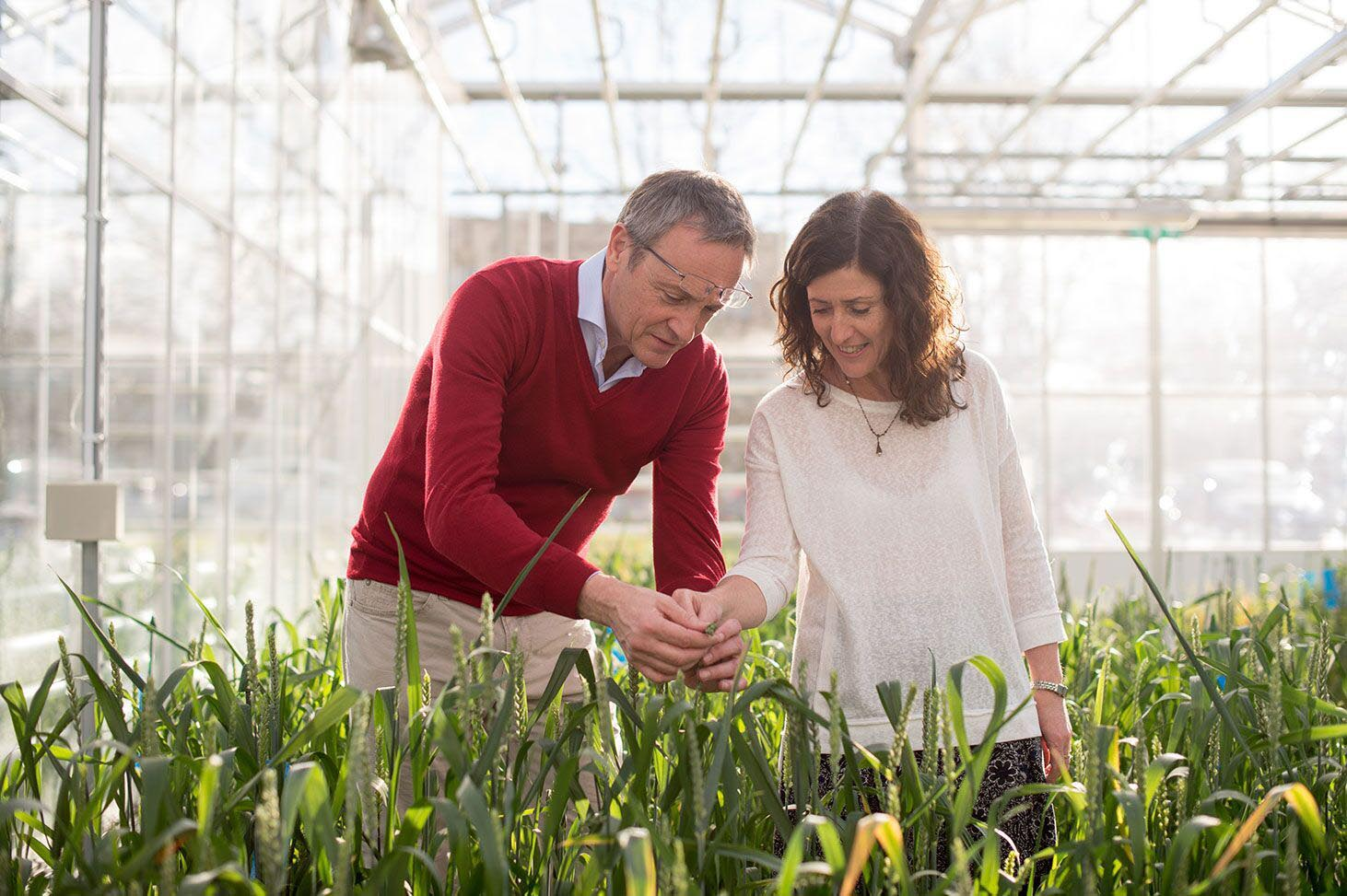 Ian and Julie King at the Wheat Research Centre, Nottingham University.
