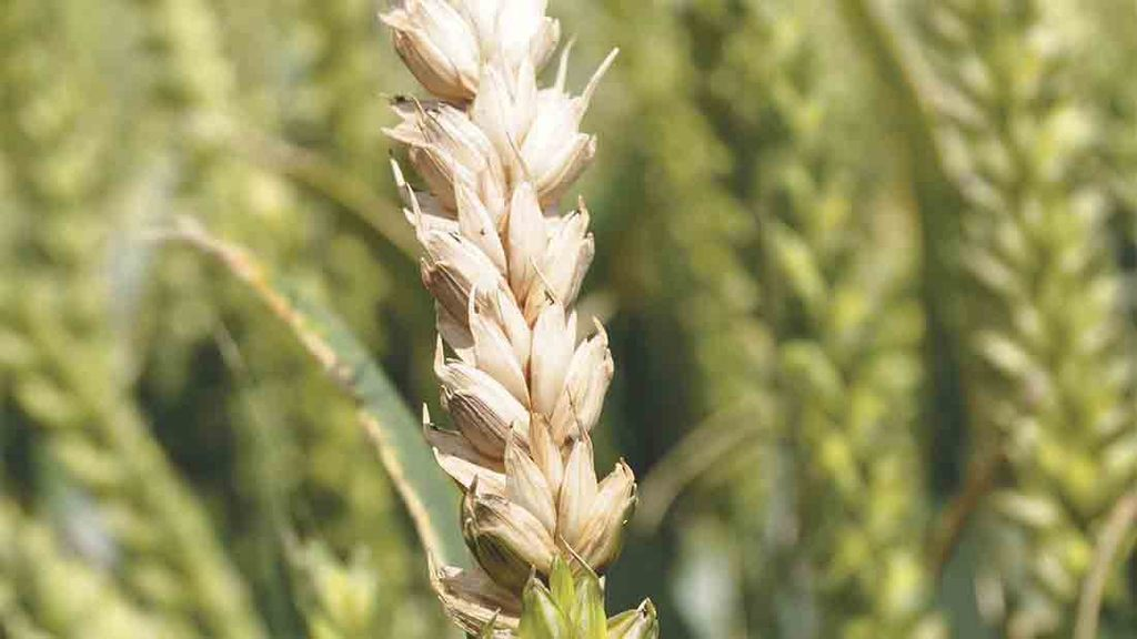 Accurate fusarium risk assessment key to sensible storage decisions