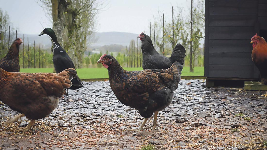 Free range back in business after bird flu restrictions lifted