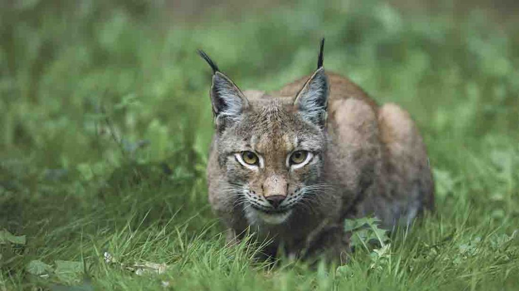 The threat posed by lynx has already led sheep farmers to question their futures