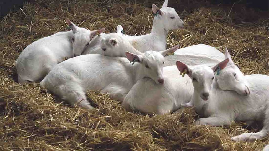Welsh couple make a profit from popularity of goat milk
