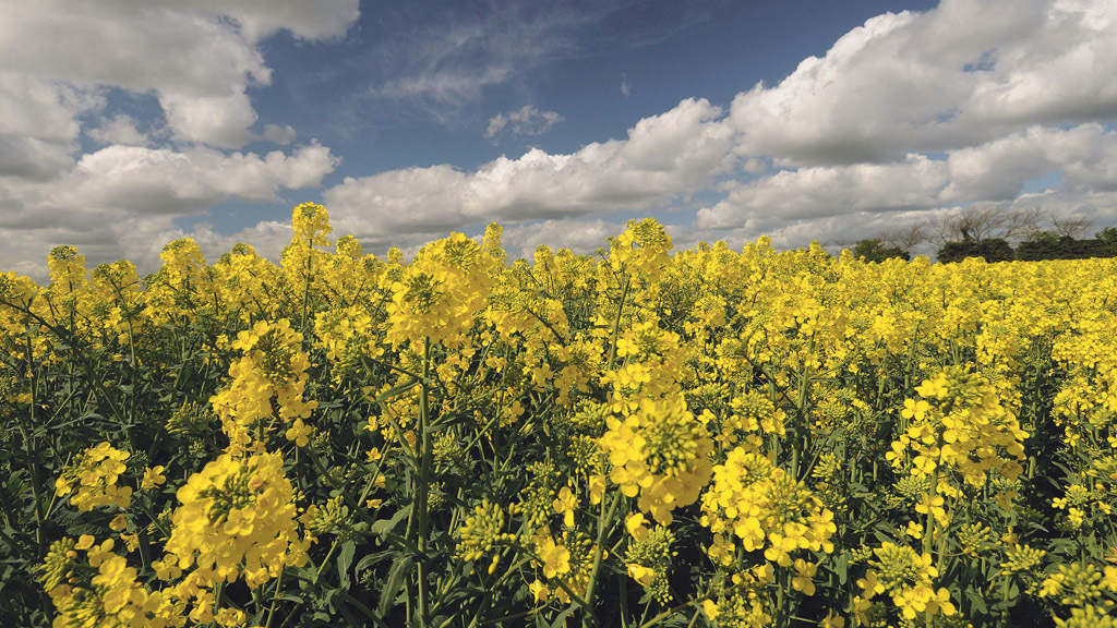 Local performance vital to OSR variety selection