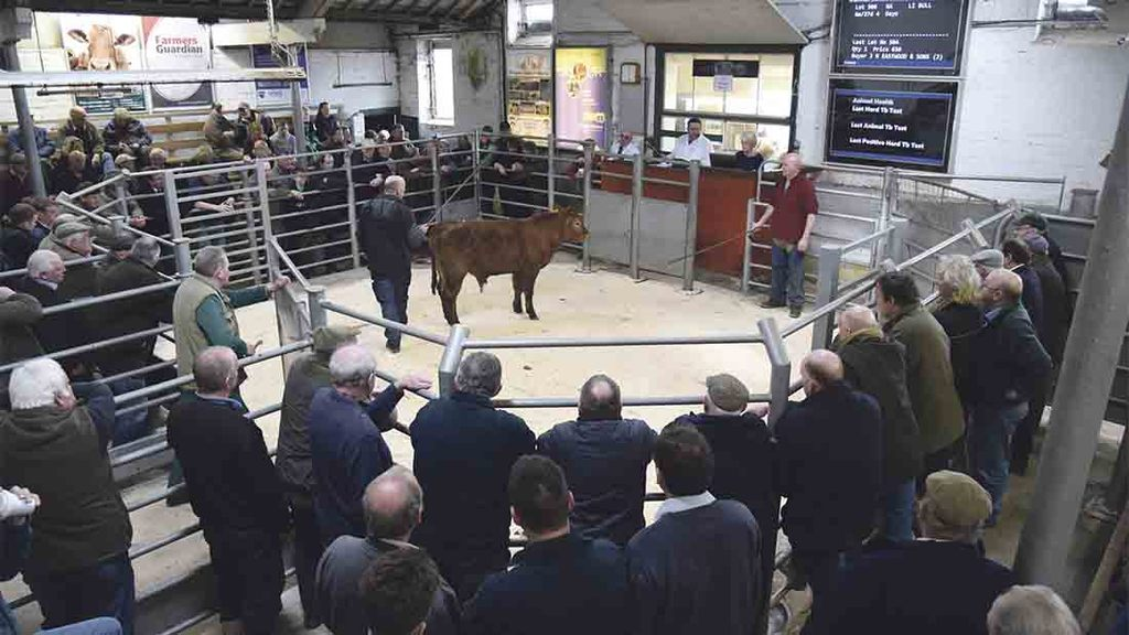 Strong demand for store cattle at Wharfedale