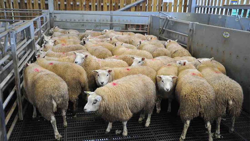 Booming lamb exports could boost returns