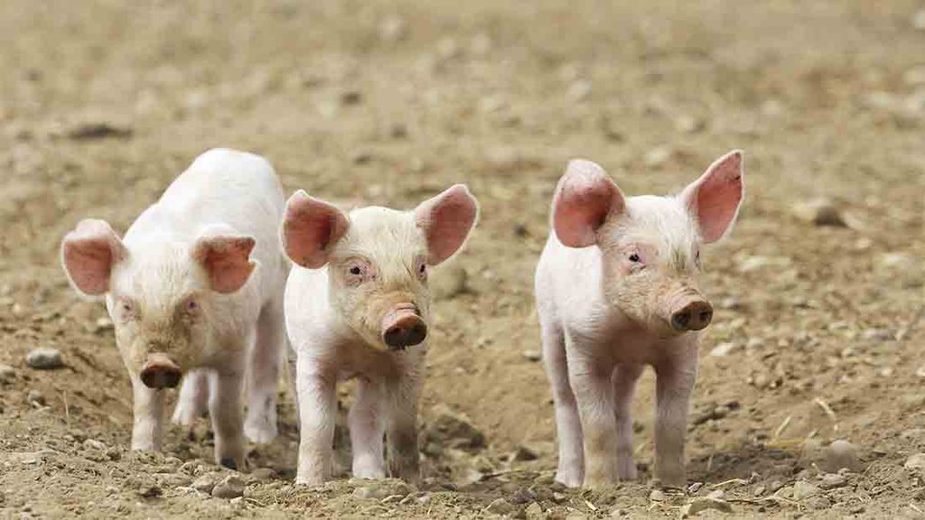 Fear of African Swine Fever triggers biosecurity step up