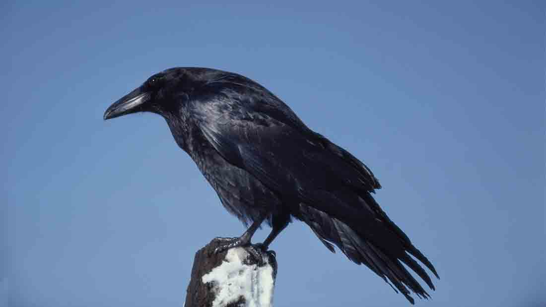Petition launched to protect livestock from devastating raven attacks