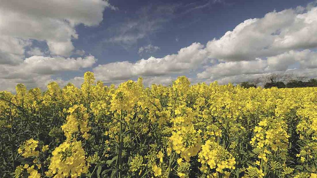 Oilseed rape comes out on top as other crops suffer