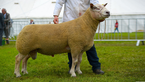 Controversy at Devon County as sheep inter-breed winner is stripped of title