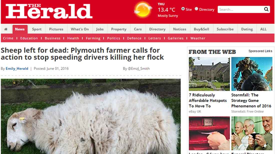 Sheep left for dead: Plymouth farmer calls for action to stop speeding drivers killing her flock