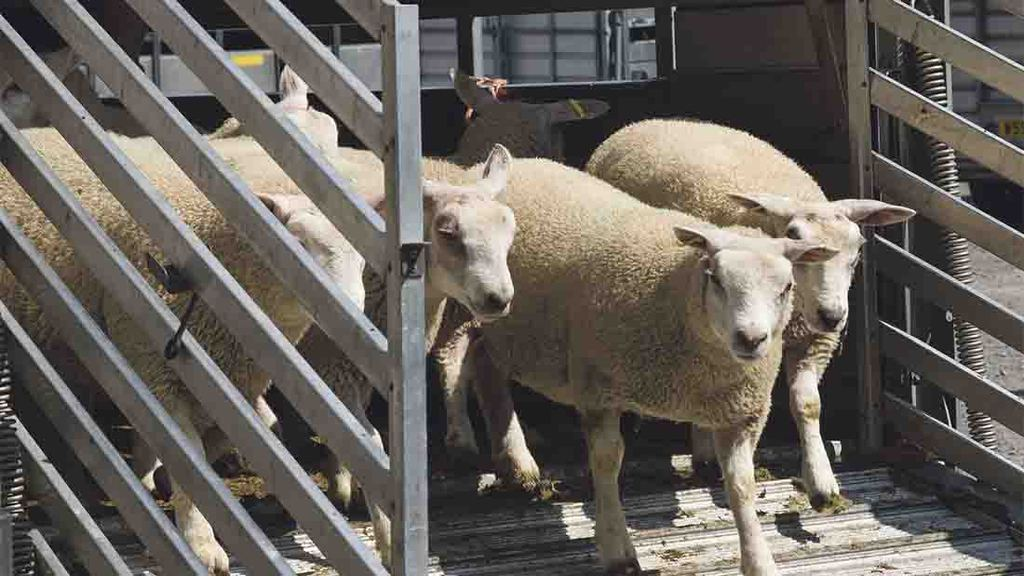 US consultation to lift BSE ban on UK lamb imports