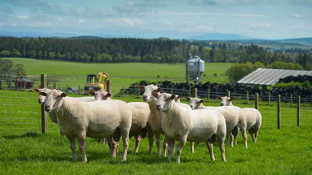 The plans: To take some shearlings to Bullth Wells sale