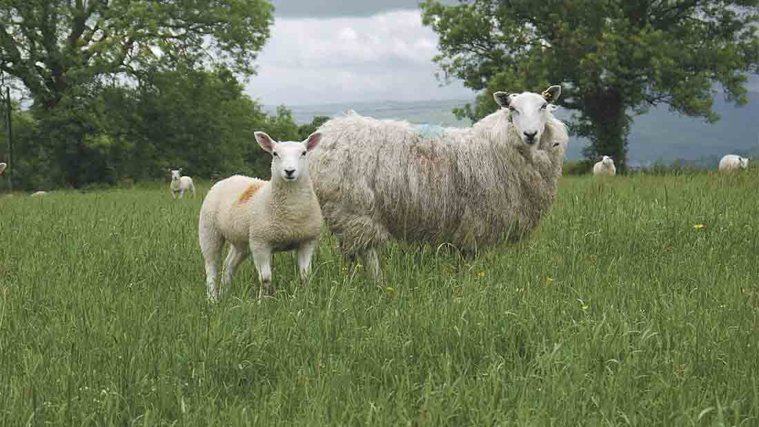Welsh Mountain ewe flock