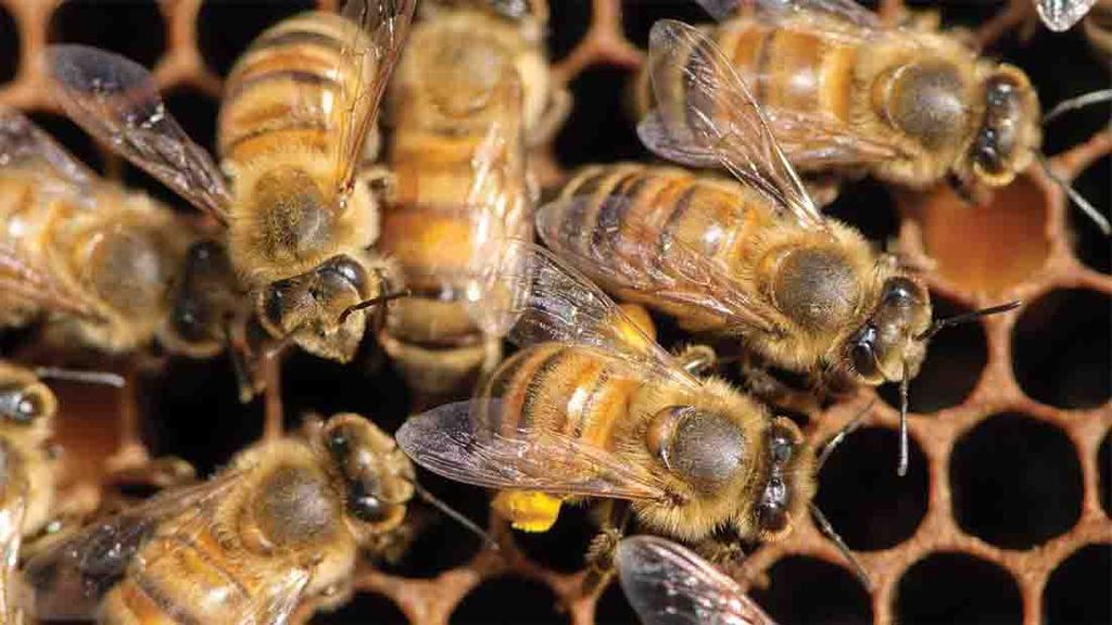 Study finds honey bees living on farms healthier than those living elsewhere