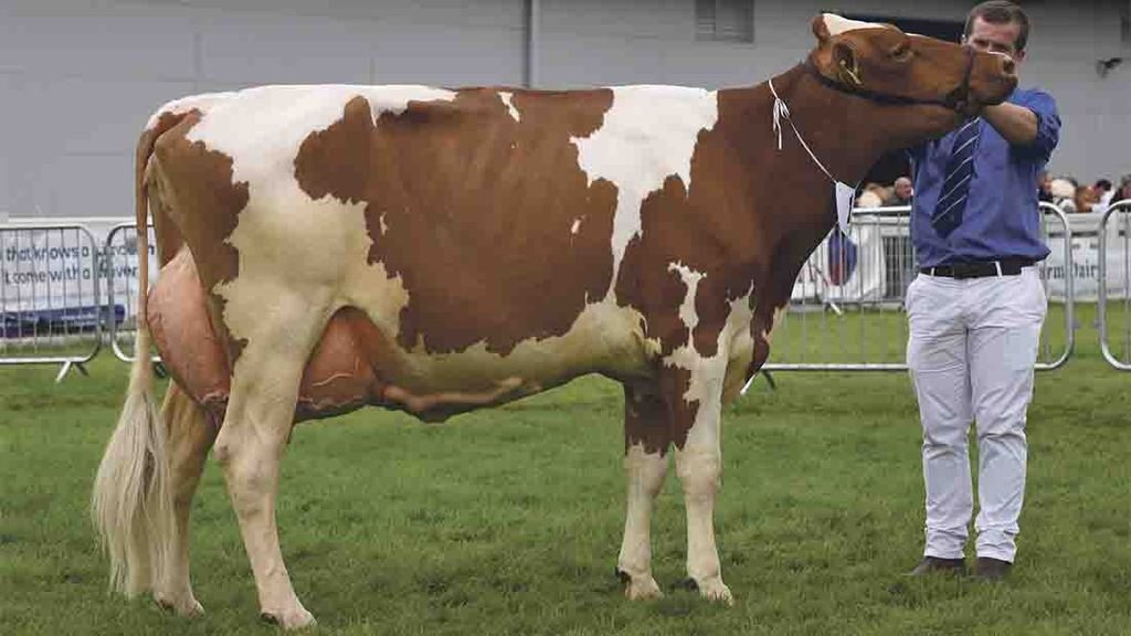 Red and Whites dominate in dairy lines at Royal Highland Show