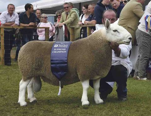 Natives breeds lead the way in the Royal Highland sheep championship