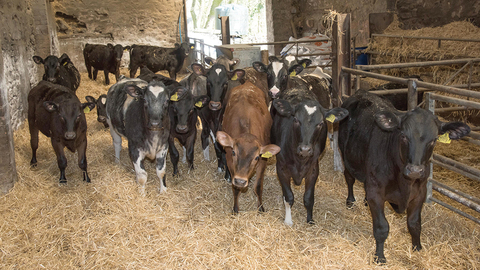 Image: weaning calves