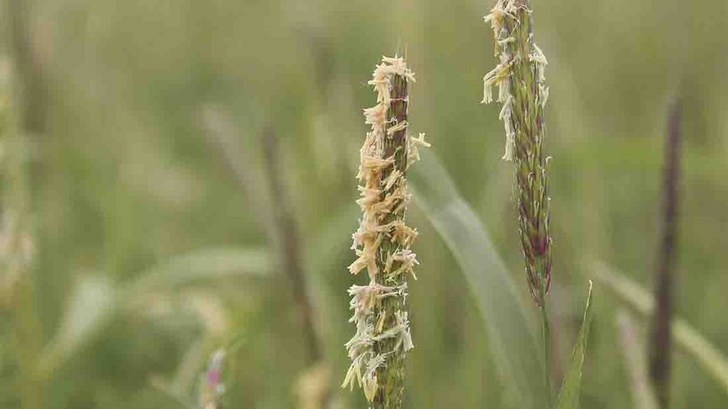 Integrated method is key to black-grass battle