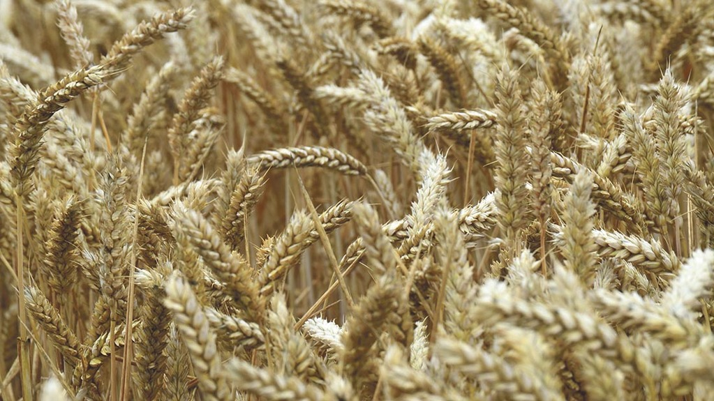 Wheat production to fall following 'bumper' years