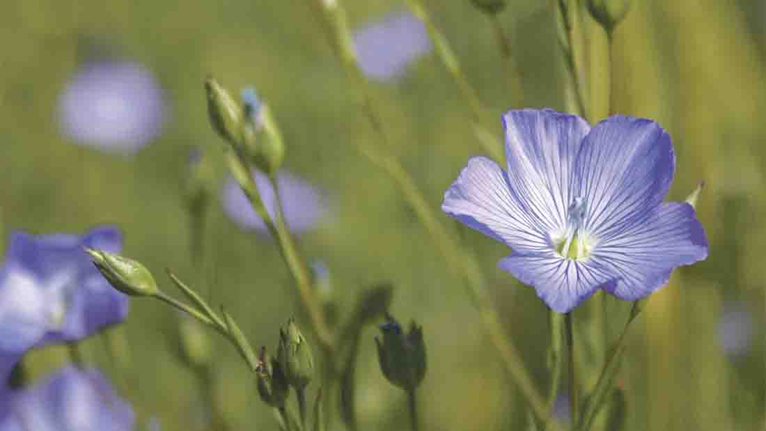 Linseed has a long history or medical and nutritional use