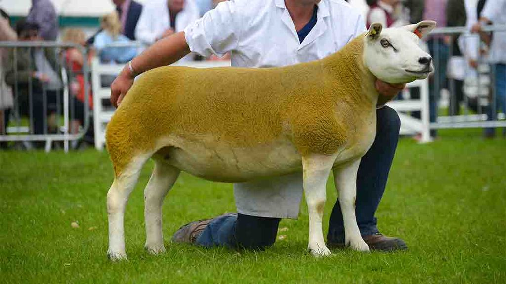 Texel shearling ewe claims Great Yorkshire supreme