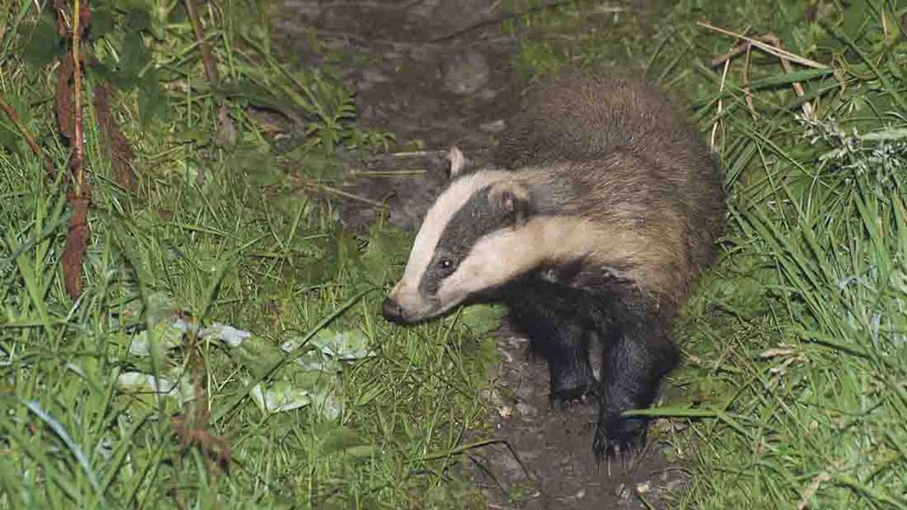 Seven new badger cull areas could be licensed this year - Raymond