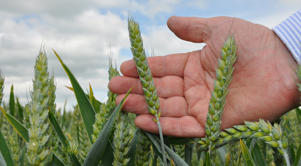 First wheat choice can hit second wheat crop performance