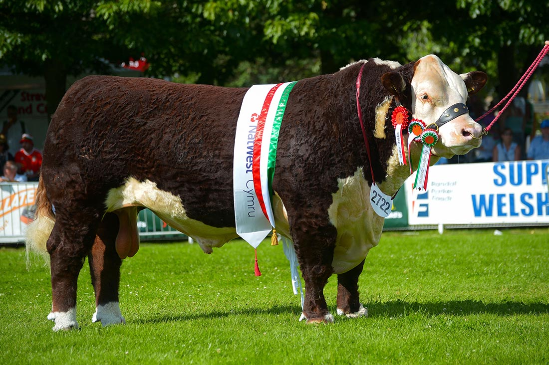 Royal Welsh Show: Hereford bull takes second major inter-breed of the summer
